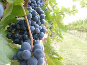Educational Vineyard from Siena -  Enocuriosi by Wine and Tours